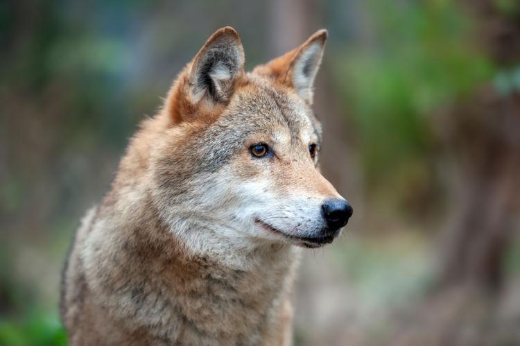 犬の先祖はオオカミやコヨーテ