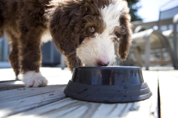 犬が「溜め食い」「早食い」をする理由
