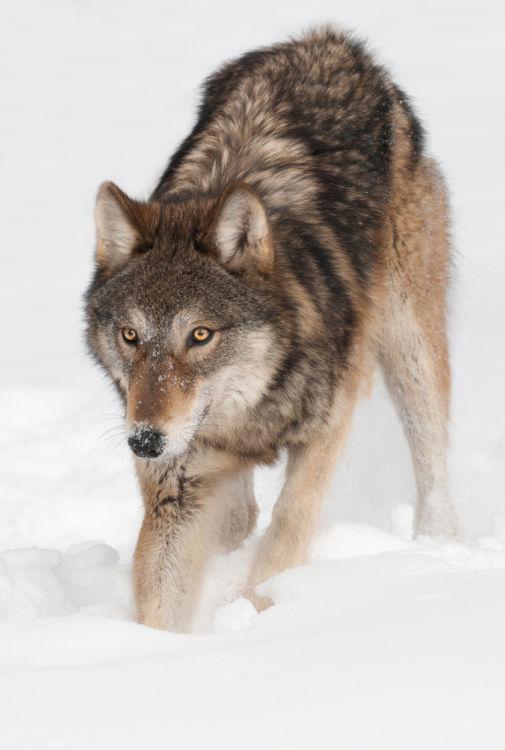 餌を掘り起こすオオカミ