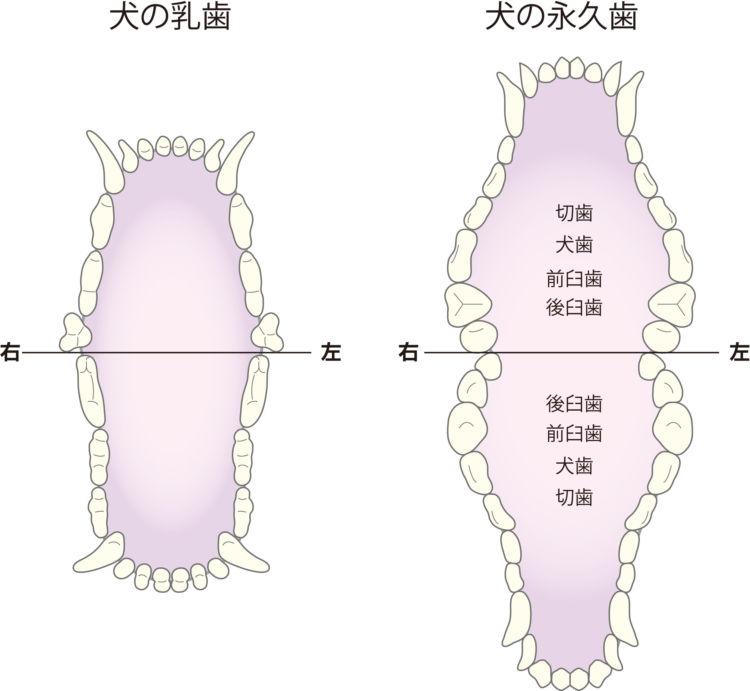 犬の乳歯と永久歯の歯並び