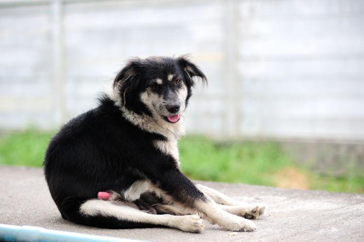 【獣医師監修】犬のペニス(生殖器・陰茎)が腫れている。考えられる原因や症状、主な病気は?