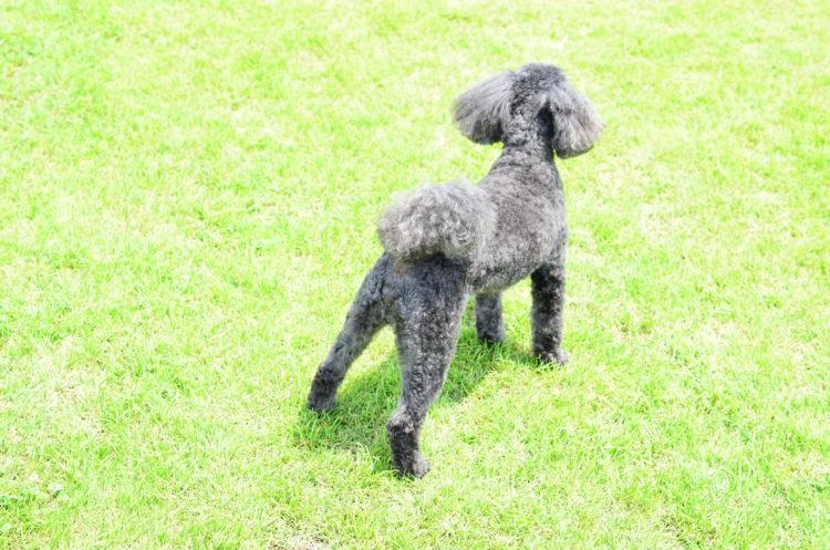 【獣医師監修】「犬の股関節形成不全」 原因や症状、なりやすい犬種、治療方法は?