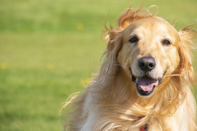 犬の股関節形成不全【発症しやすい犬種】