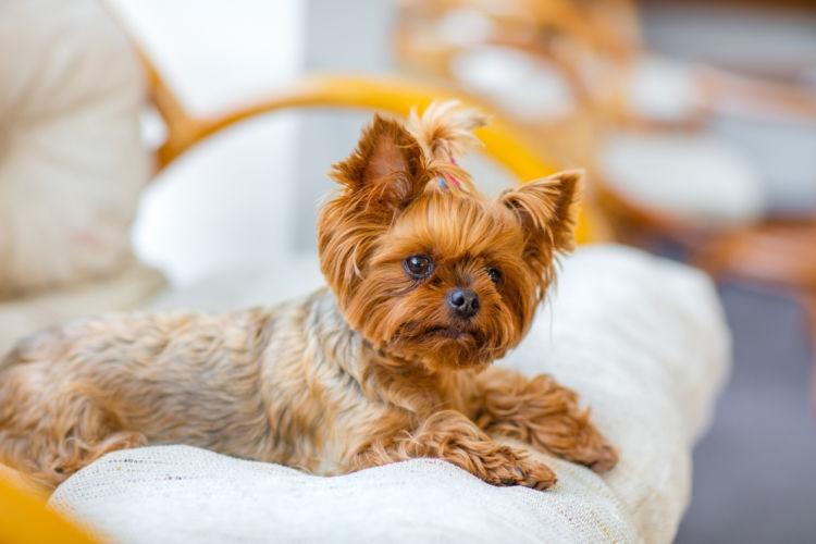 【獣医師監修】「犬の前十字靭帯断裂」 原因や症状、なりやすい犬種、治療方法は?