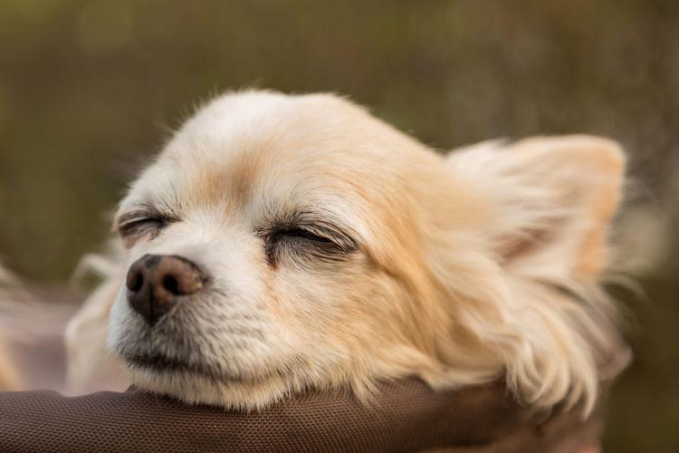 【獣医師監修】「犬の慢性腎不全(慢性腎臓病)」 原因や症状、なりやすい犬種、治療方法は?