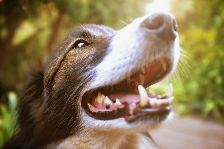 犬の歯髄炎【発症しやすい犬種】