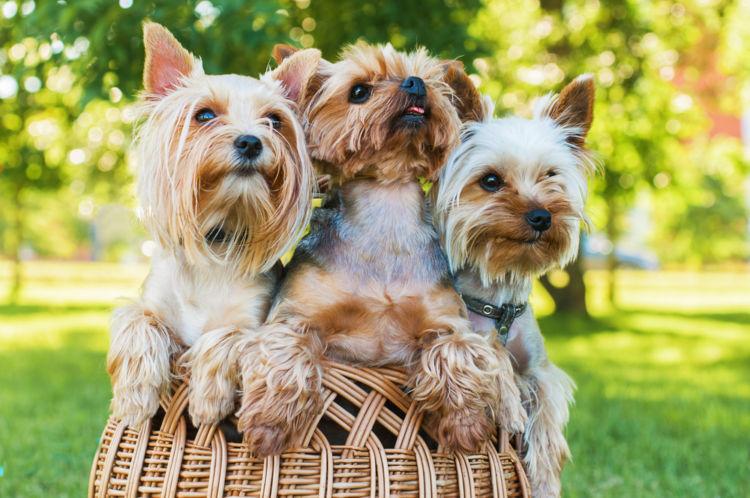 犬の糖尿病【発症しやすい犬種】