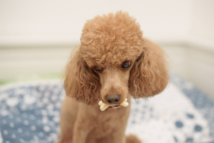 【獣医師監修】犬の乳歯遺残 原因や症状、なりやすい犬種、治療方法は?