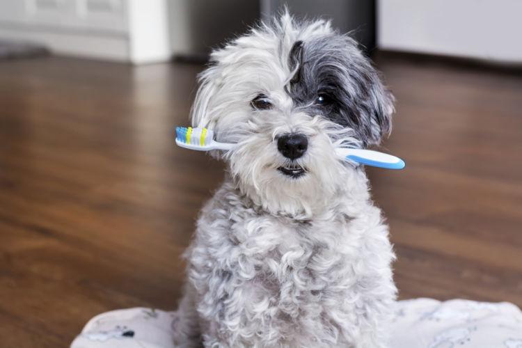 【獣医師監修】犬の「虫歯(う蝕)」原因や症状、診断、治療、予防方法は?なりやすい犬種は?