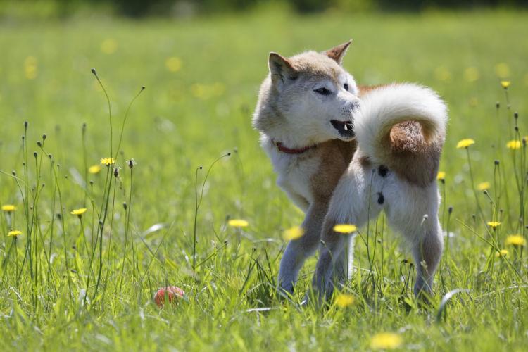 【獣医師監修】犬がしっぽを追いかける。考えられる原因や症状、おもな病気は?