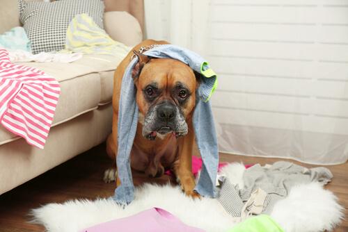 なぜ犬は靴下が好きなのか?実は飼い主の放つフェロモンが関係していた!