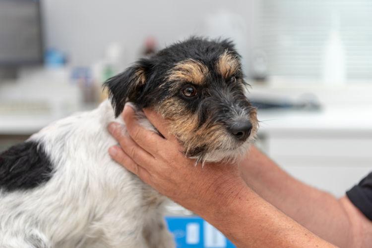 老犬の唾液腺(唾液瘤)【注意点・ケア方法】