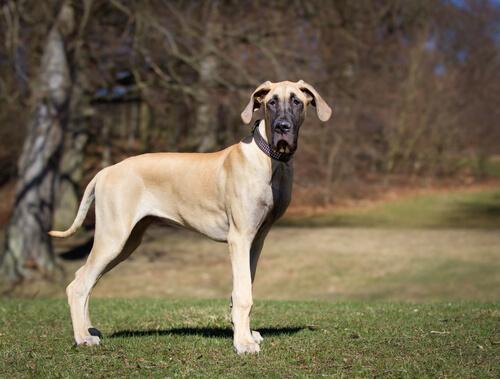 世界一大きな犬!グレート・デーンの性格は温厚で献身的