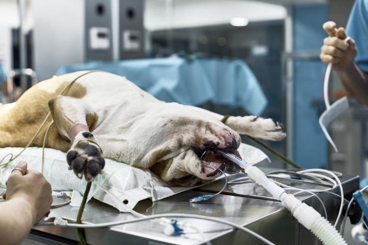犬の唾液腺(唾液瘤)「診断」①【穿刺吸引】