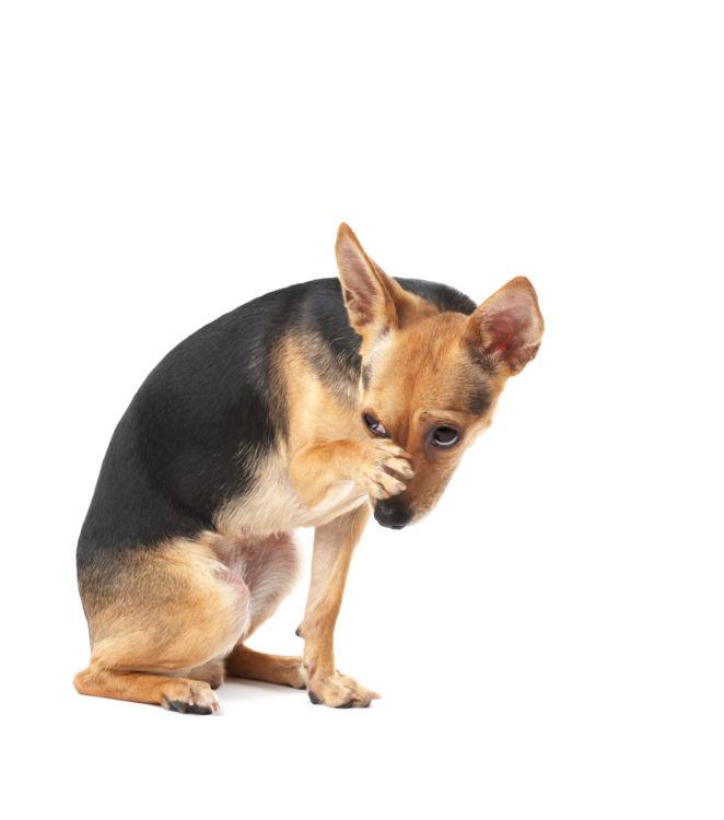 犬のオレンジ「アレルギー」には要注意!