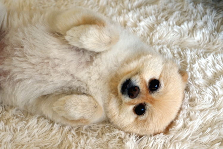 犬がマスカットを食べると「中毒」「腎不全」を起こし、死亡することも!