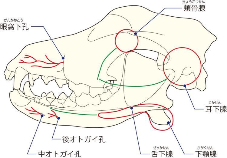 犬の「唾液腺」「唾液腺導管」図
