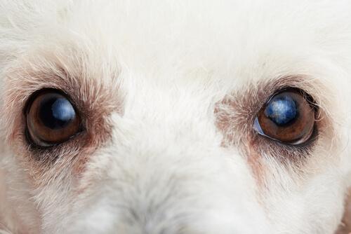 犬の目やにに要注意!その目やに、病気のサインかもしれません!