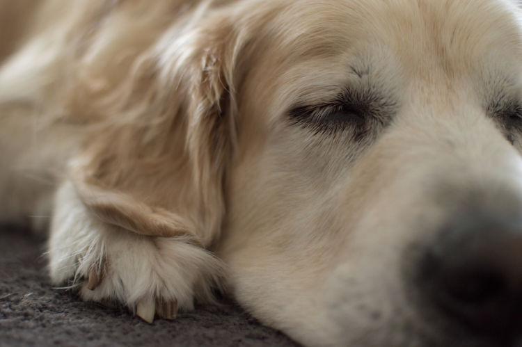 犬の犬ジステンパー脳脊髄炎