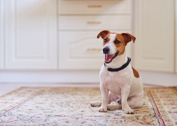 【獣医師監修】犬がおしりを引きずって歩いている。考えられる原因や症状、おもな病気は?