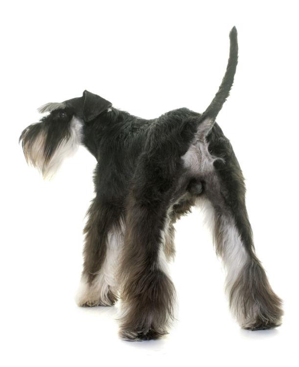 犬の肛門嚢炎