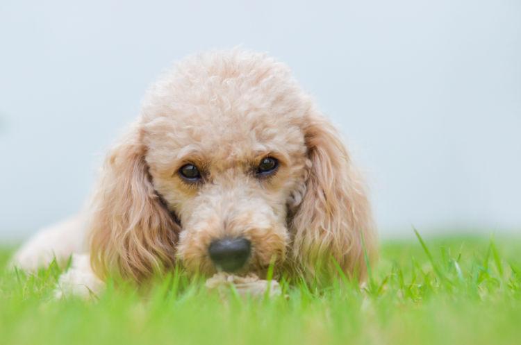 【獣医師監修】犬の「マラセチア皮膚炎」原因や症状、診断、治療法、予防対策(シャンプー)は?
