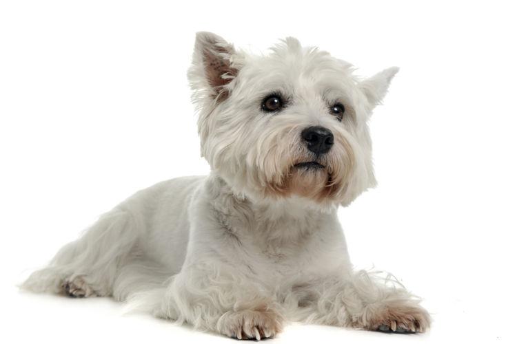 犬のマラセチア皮膚炎【発症しやすい犬種】