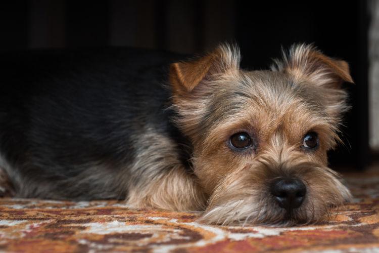犬の皮膚糸状菌症と間違えやすい病気