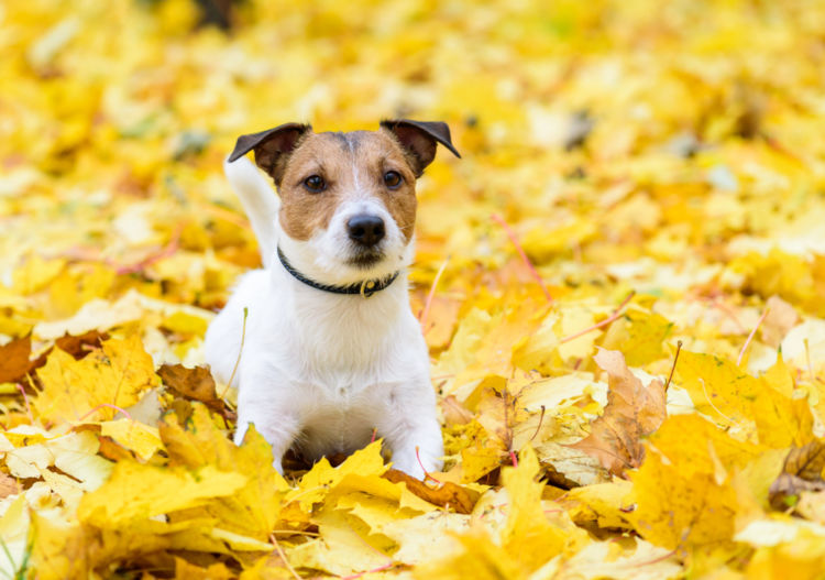【獣医師監修】犬の「落葉状天疱瘡(自己免疫疾患)」原因や症状、診断、治療方法、予防対策は?