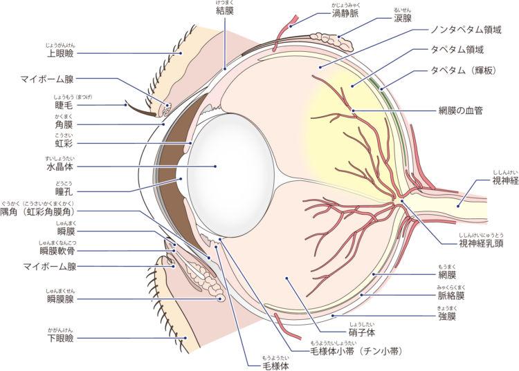 犬の眼球の構造