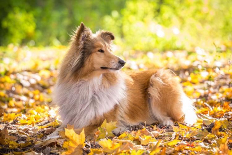 【獣医師監修】犬のコリー眼異常 原因や症状、なりやすい犬種、治療方法は?