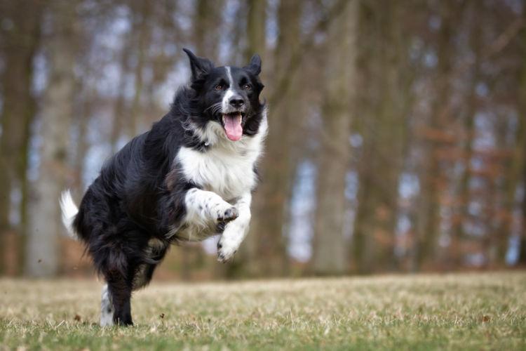犬のコリー眼異常【発症しやすい犬種】
