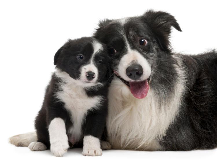 犬のコリー眼異常【予防対策】