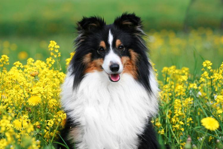 犬のコリー眼異常とは