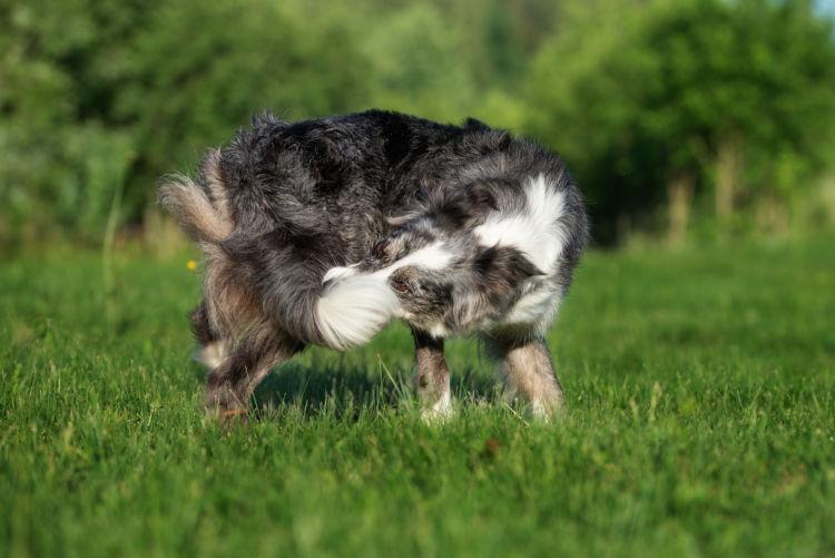 犬のマラセチア皮膚炎(脂漏性皮膚炎、脂漏症)