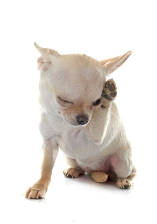 牛乳アレルギーの犬