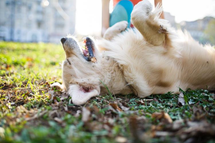 【獣医師監修】犬が突然倒れた。考えられる原因や症状、おもな病気は?