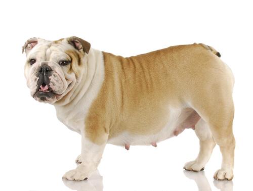 犬の妊娠の兆候って?メス犬の飼い主が知っておくべき妊娠の初期症状
