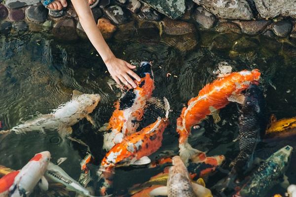 鯉を数える子どもの様子