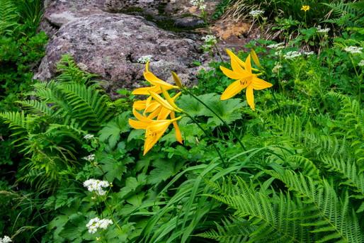 山形月山の花