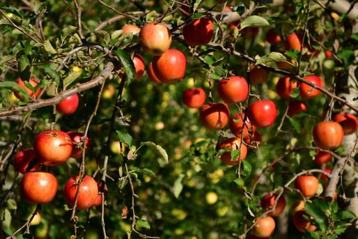 青森の果樹