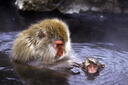 猿が温泉に入ってる