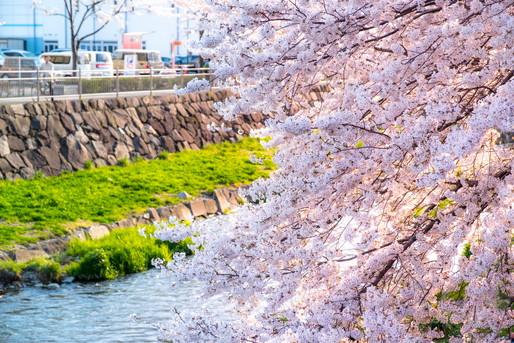 川沿いの桜は満開です