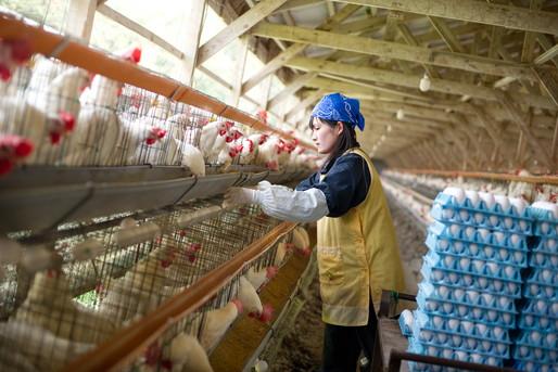 鶏の世話をする女性