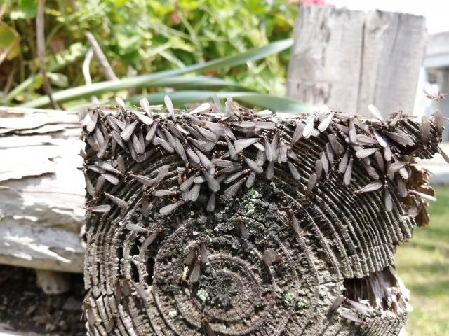対策が必要な羽アリの特徴