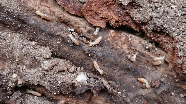 注意が必要な羽アリの種類と生態
