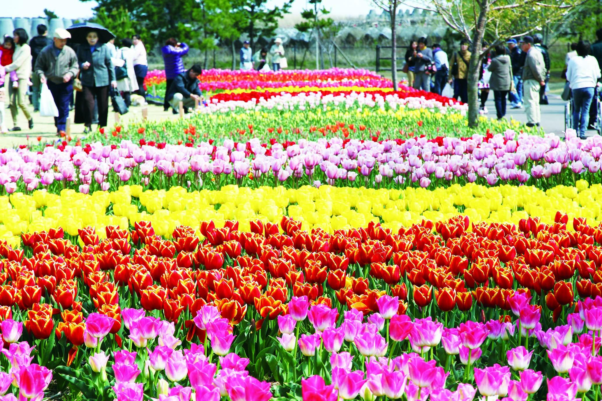 家族で一日楽しめる静岡県営吉田公園(チューリップ祭りの様子)