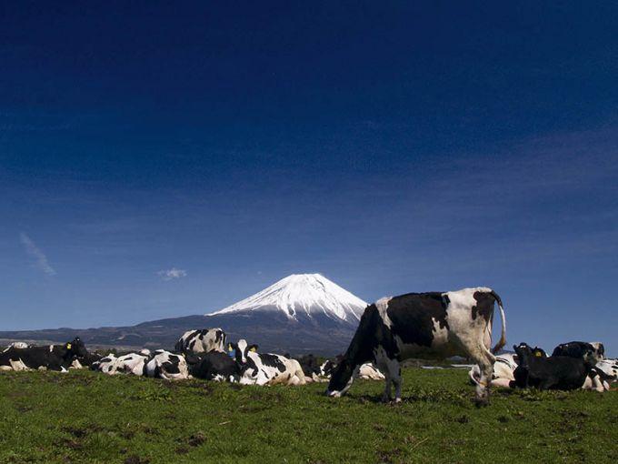 広大な朝霧草原では放牧や酪農がさかん(写真提供:富士宮市)