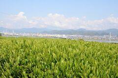 茶畑が広がる島田らしい風景(写真提供:島田市)
