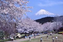 桜の名所として知られる岩本山公園(写真提供:富士市)
